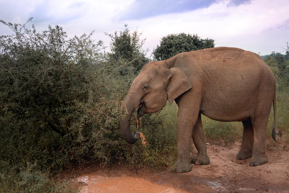 Elephants Udawalawe National Park, Sri Lanka  #udawalawe #srilanka #elephants
